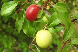 plums-1509827_640
